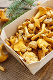 Cantharellus cibarius. Mushrooms in basket. Royalty Free Stock Image