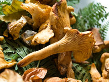 Cantharellus cibarius Stock Photos