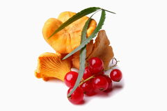Cantharellus and currants Stock Photography