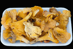 Cantharellus Stock Photography
