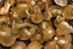 Cantharellus Stock Image