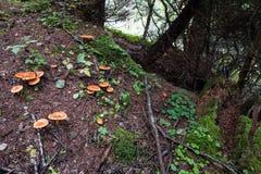 Cantharelpaddestoelen in bergbos Royalty-vrije Stock Foto's