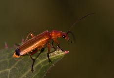 Cantharis royalty free stock photos