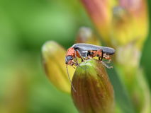 Cantharis beetle. Soldier beetle of the genus Cantharis sitting on a flower bud Stock Image
