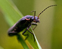 Cantharis fusca Stock Photography