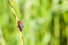 Cantharis nigricans Royalty Free Stock Photography