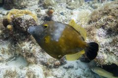 White spotted file fish in coral reef. Cantherhines macrocerus, commonly known as the whitespotted filefish or American whitespotted filefish, is a marine fish Stock Image