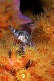canthigaster pufciu rostrata sharpnose Zdjęcie Stock