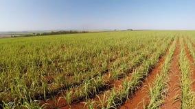 Cantidad aérea de la plantación de la caña de azúcar en el Brasil almacen de metraje de vídeo