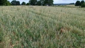 Cantidad aérea de las liebres marrones salvajes que comen la hierba almacen de metraje de vídeo