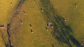 Cantidad a?rea de las ovejas en un campo que pastan y que descansan contra un alambre de tel?fono - admitido el distrito m?ximo,  metrajes