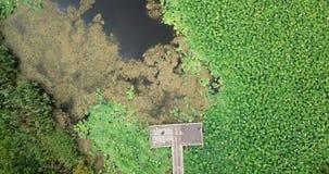 Cantidad aérea imponente de la acción del abejón de lotos florecientes almacen de video