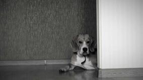 Cantidad blanco y negro de un perro que miente en el piso en casa mientras que la cámara resbala