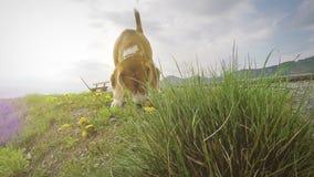 Cantidad a cámara lenta: beagle en los dientes de león el oler del paseo almacen de video