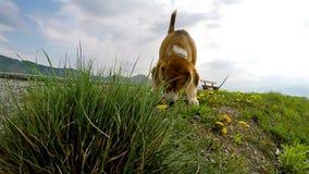 Cantidad a cámara lenta: beagle que huele los dientes de león mientras que en el paseo metrajes