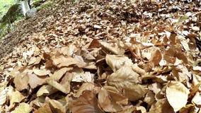 Cantidad a cámara lenta: persiga es muy feliz de cavarse para arriba en hojas y de disfrutar de diversos sabores almacen de video