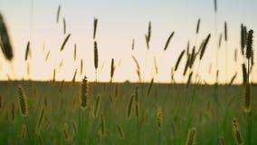 Cantidad cercana de espiguillas en campo de trigo con puesta del sol en fondo metrajes