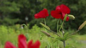 Cantidad colocada fondo de las flores de las amapolas almacen de video