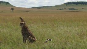 Cantidad de guepardos en Kenyan Plain metrajes