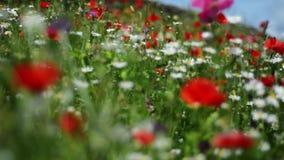 Cantidad de Immersive de wildflowers coloridos en la plena floración, sacudiéndose y meneándose suavemente en brisa en un día de  almacen de metraje de vídeo