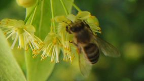 Cantidad de la abeja en el flor del árbol de tilo almacen de metraje de vídeo