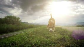 Cantidad de la cámara lenta: el perro del beagle camina por el rastro que huele hacia fuera para un poco de invitación metrajes