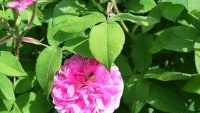 cantidad de la cámara lenta 120fps de Honey Bee que recolecta el polen de una rosa rosada metrajes