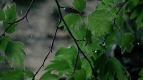 Cantidad de la cámara lenta Goteo de las gotas de agua en las hojas almacen de metraje de vídeo