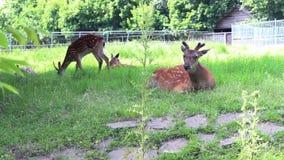 Cantidad de los ciervos del grupo en un parque zoológico almacen de metraje de vídeo