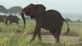 Cantidad de un elefante africano almacen de video