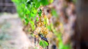 Cantidad de uvas maduras en los arbustos en lagares, cambiando la profundidad del campo almacen de video