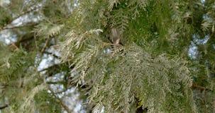 Cantidad del árbol de abeto que se levanta almacen de video