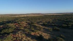 Cantidad del abejón del Kalahari metrajes