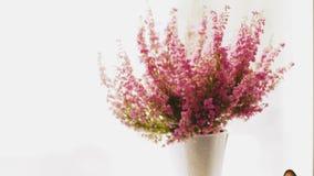 Cantidad del brezo gracilis del invierno de Erica en flor lleno almacen de metraje de vídeo