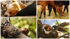 Cantidad del collage de la familia del beagle, de las mangueras, del caracol y del estornino el dormir almacen de metraje de vídeo
