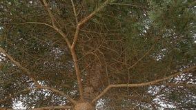 Cantidad del hd del viento del fondo del árbol de abeto nadie almacen de metraje de vídeo