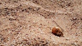Cantidad del primer 4k del pequeño cangrejo que se arrastra en la arena caliente en la orilla de mar metrajes