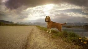 cantidad 4K: Beagle en el paseo en un día embotado metrajes
