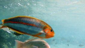 cantidad 4k del bajío de pescados coloridos que nadan cerca del filón muerto en el Mar Rojo almacen de video
