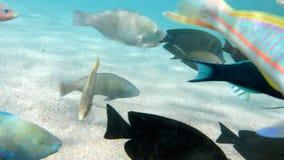 cantidad 4k del baj?o de pescados coloridos que nadan cerca del fil?n muerto en el Mar Rojo almacen de metraje de vídeo