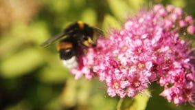 Cantidad macra de la cámara lenta del abejorro en la flor rosada hermosa almacen de video