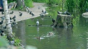Cantidad natural hermosa con diversos pájaros que caminan en hierba fresca verde El volar de los patos, de los patos machos y de  metrajes