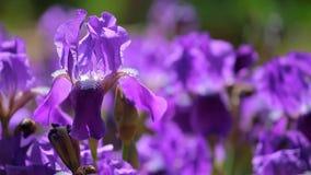 Cantidad púrpura del hd del viento del campo de flor del iris almacen de metraje de vídeo