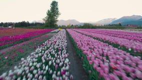 Cantidad a?rea de un campo del tulip?n y las monta?as circundantes en Chilliwack en la puesta del sol
