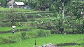 Cantidad sobre terraza del arroz y palmeras de la montaña y casa de granjeros bali indonesia almacen de video