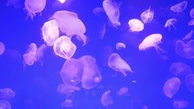 Cantidad subacuática de las medusas, naturaleza del mar almacen de video