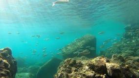 Cantidad subacuática del arrecife de coral con los pescados tropicales en el mar del Caribe metrajes