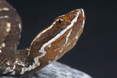 Cantil, Agkistrodon bilineatus/ Fotografia Royalty Free