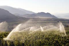 Cantina della vigna dello spruzzatore di irrigazione Fotografia Stock
