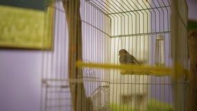 Canto amarillo nacional y el volar en la jaula, cámara de observación, guardando pájaros del animal doméstico almacen de metraje de vídeo